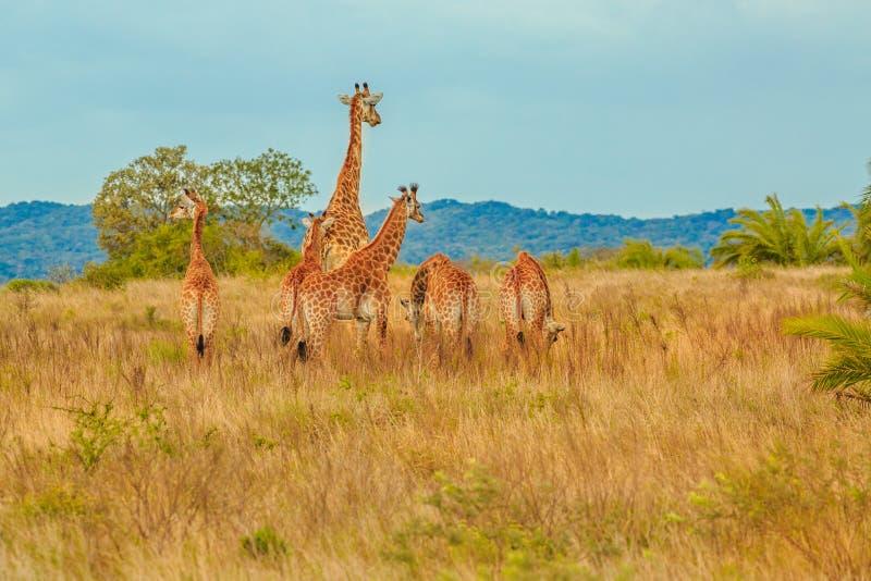 Gruppo di giraffa fotografie stock