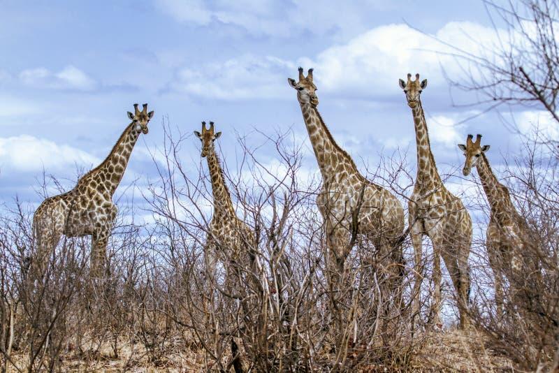 gruppo di giraffe nel parco nazionale di Kruger, nella strada, il Sudafrica immagini stock libere da diritti