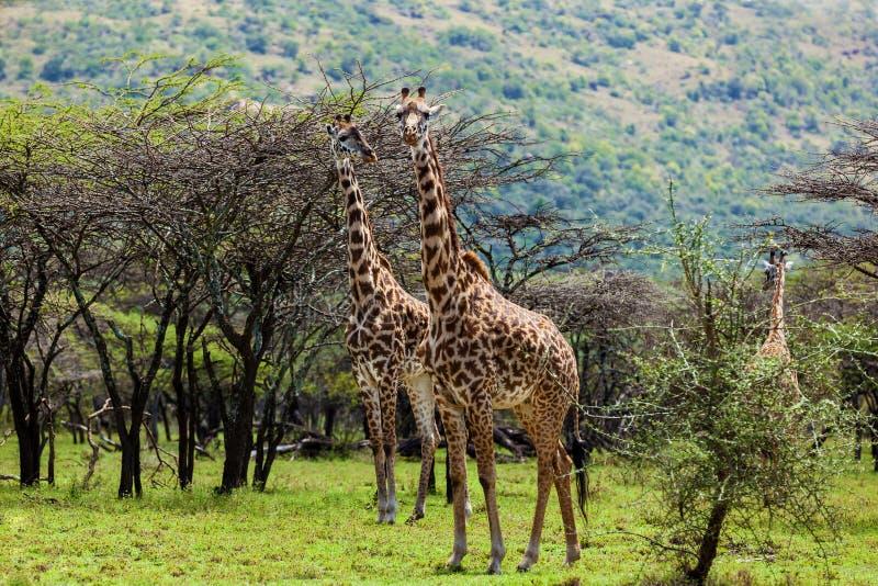 Gruppo di giraffe sul safari immagine stock