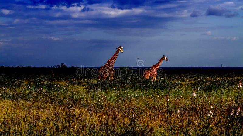 Gruppo di giraffe in una savana verde, parco di Kruger, Sudafrica fotografie stock