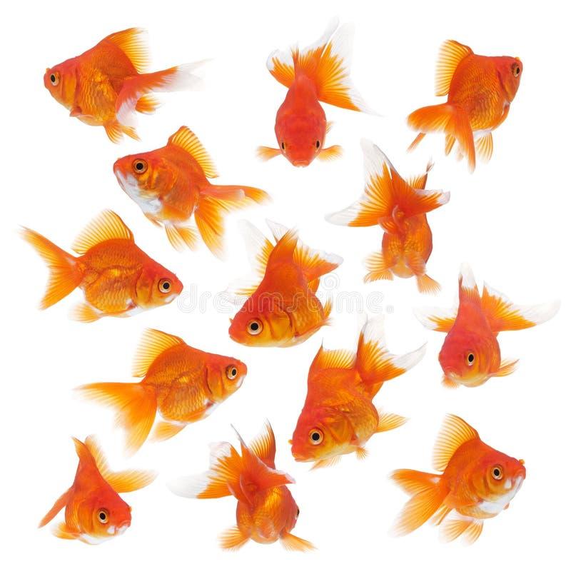 Gruppo di goldfish fotografia stock