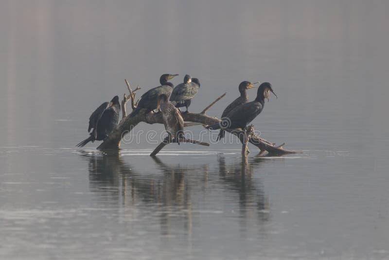 Gruppo di grande phalacrocorax dei cormorani dentro fotografie stock libere da diritti