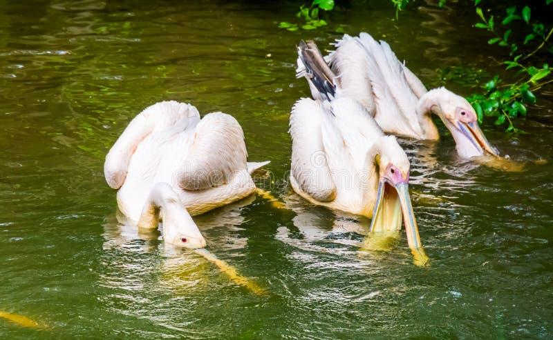 Gruppo di grandi pellicani bianchi che cercano insieme per il pesce nell'acqua, comportamento tipico del pellicano immagini stock libere da diritti