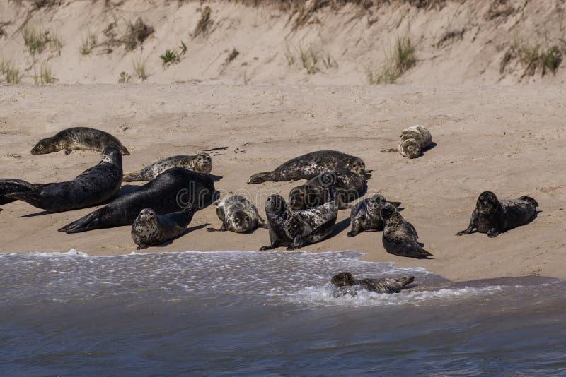 Gruppo di guarnizioni che posano sulla spiaggia immagini stock