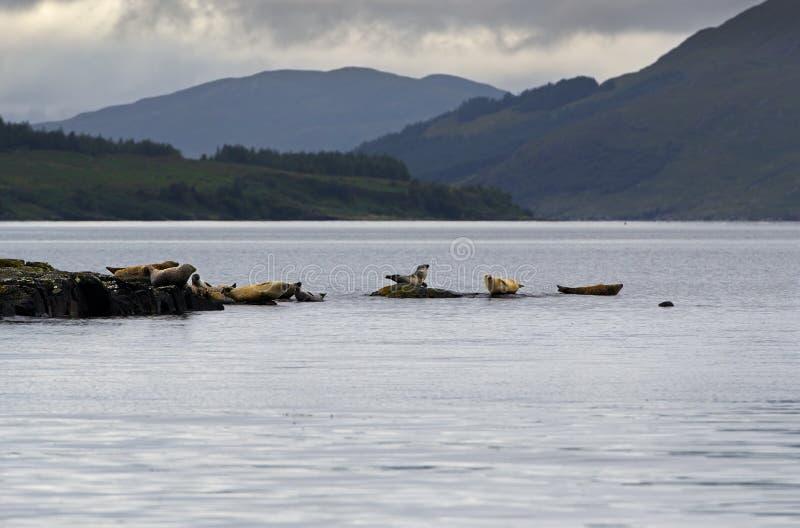 Gruppo di guarnizioni grige su un litorale dell'isola di Skye fotografie stock libere da diritti