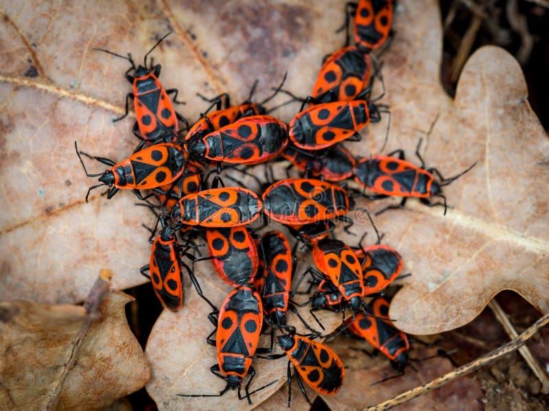 Gruppo di insetti del legno rossi immagine stock