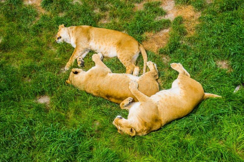 Gruppo di leoni femminili che dormono insieme vicino nell'erba, comportamento del leone sociale, specie animale vulnerabile dall' fotografia stock