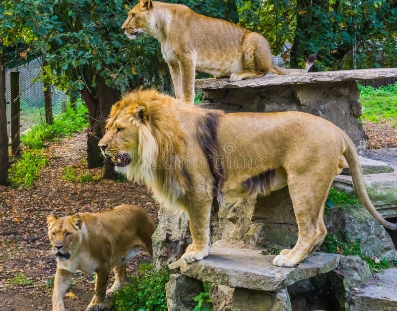 Gruppo di leoni insieme, di maschio e di leoni femminili, gatti selvaggi tropicali dall'Africa, specie animali vulnerabili fotografia stock