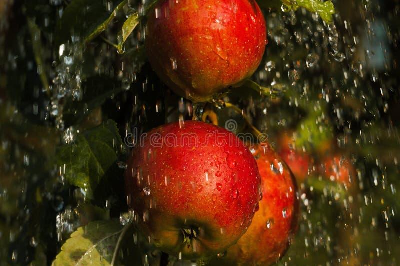 Gruppo di mele in pioggia immagini stock libere da diritti