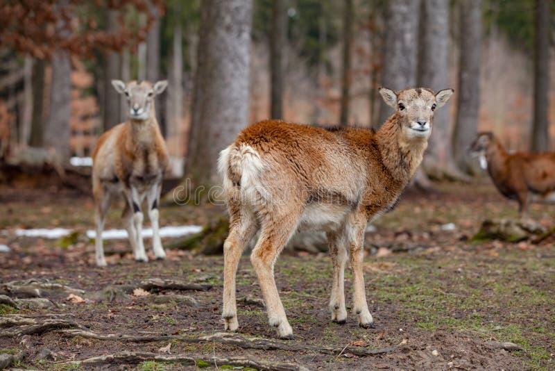 Gruppo di mufloni europei nella foresta tedesca immagine stock