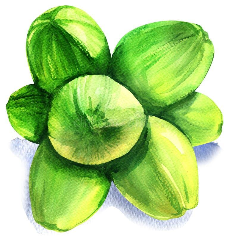 Gruppo di noci di cocco verdi isolate, illustrazione dell'acquerello su bianco illustrazione di stock
