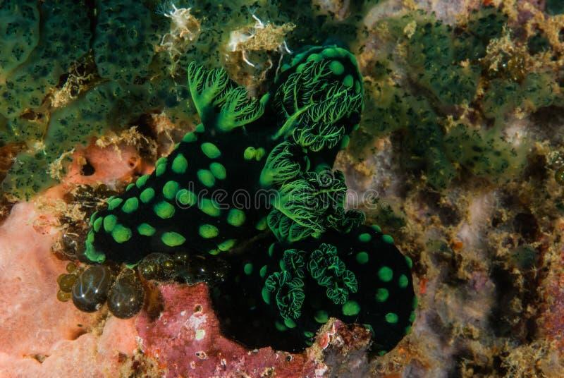 Gruppo di nudibranch a Ambon, Maluku, foto subacquea dell'Indonesia fotografia stock libera da diritti