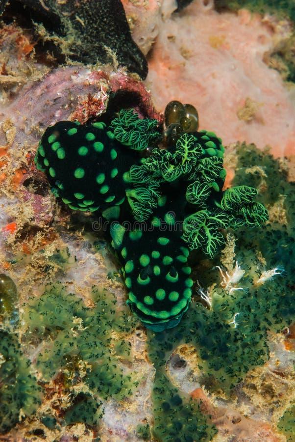 Gruppo di nudibranch a Ambon, Maluku, foto subacquea dell'Indonesia fotografie stock libere da diritti