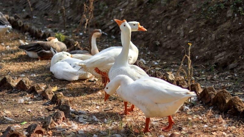 Gruppo di oca bianca fotografie stock libere da diritti