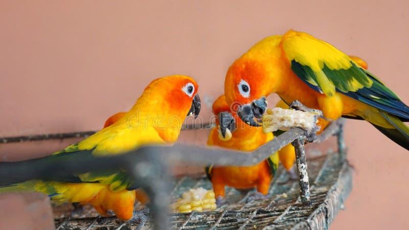Gruppo di pappagallo di conuro del sole fotografia stock libera da diritti