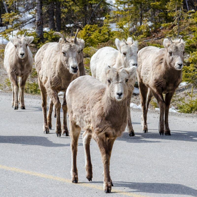 Gruppo di pecore Bighorn sulla strada immagini stock