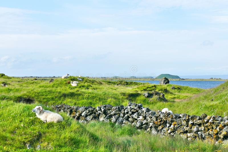Gruppo di pecore che si rilassano dalla riva del lago Myvatn immagine stock libera da diritti