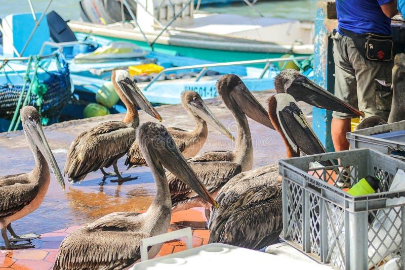 Gruppo di pellicani nel porto di pesca di Santa Cruz Island in Galapagos fotografie stock