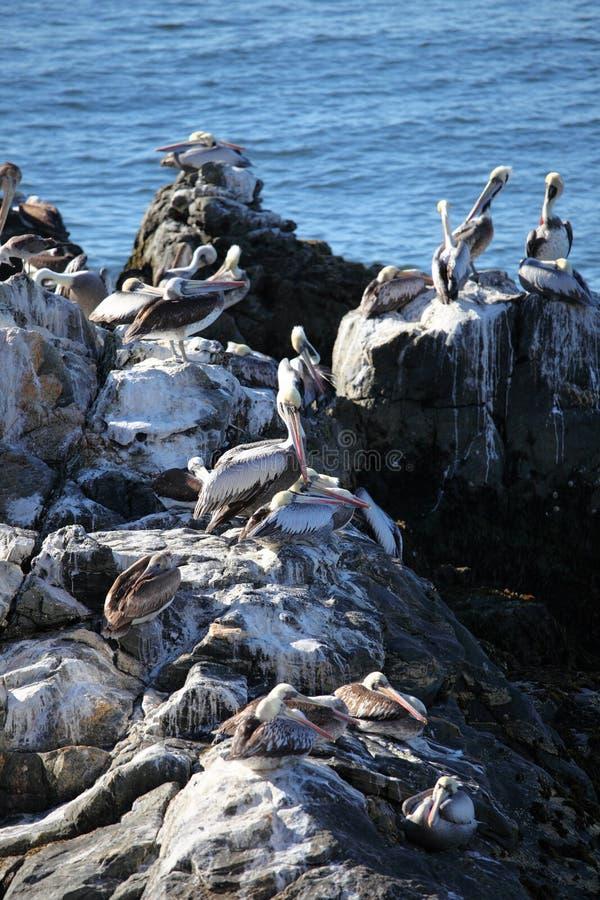 Gruppo di pellicani su roccia fotografia stock