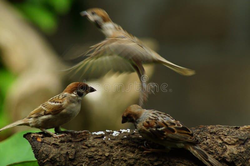 Gruppo di pertica di Philippine Maya Bird Eurasian Tree Sparrow o di passer montanus sulla mosca del ramo di albero uno via immagine stock libera da diritti