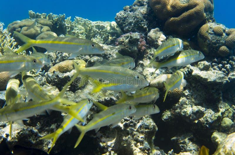Gruppo di pesce della muggine immagine stock