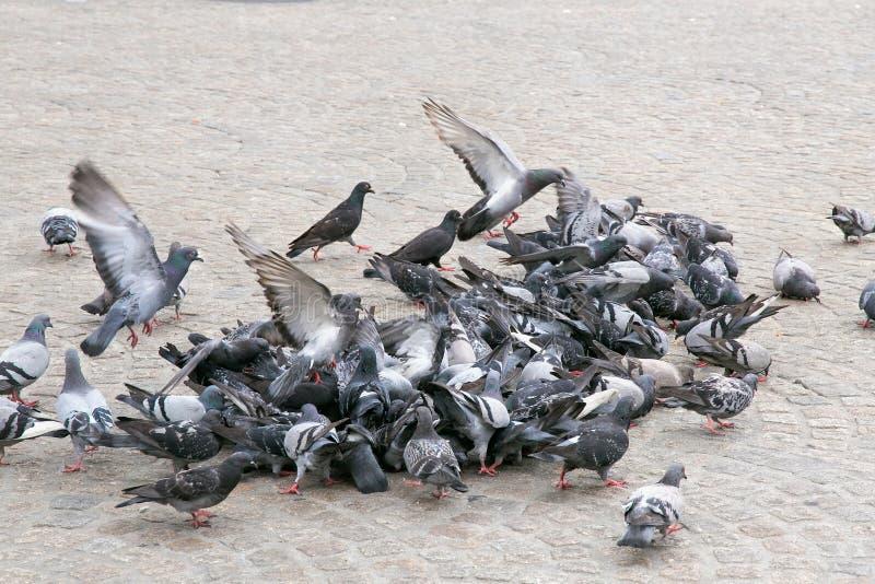 Gruppo di piccioni immagine stock