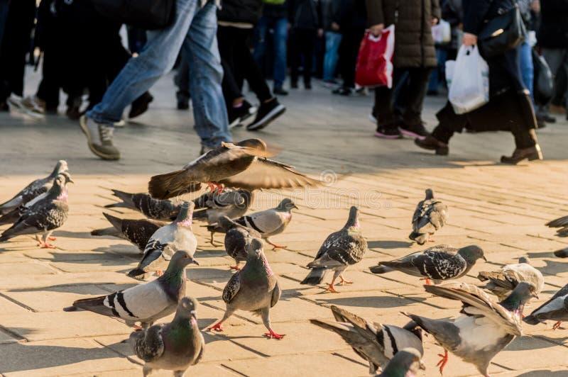 Gruppo di piccioni che camminano sulla pavimentazione vicino alla gente nella città di Costantinopoli, Turchia fotografie stock libere da diritti