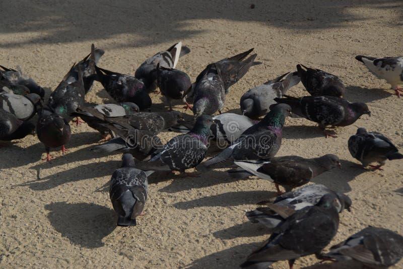 Gruppo di piccioni selvaggi fotografia stock libera da diritti
