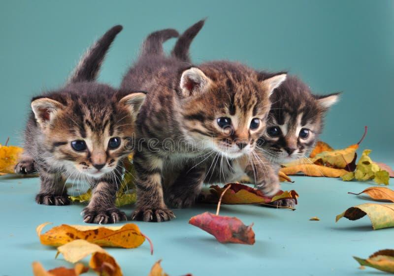 Gruppo di piccoli gattini in foglie di autunno immagini stock