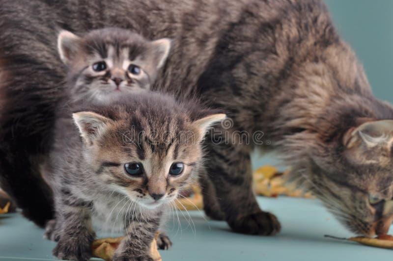 Gruppo di piccoli gattini in foglie di autunno fotografia stock