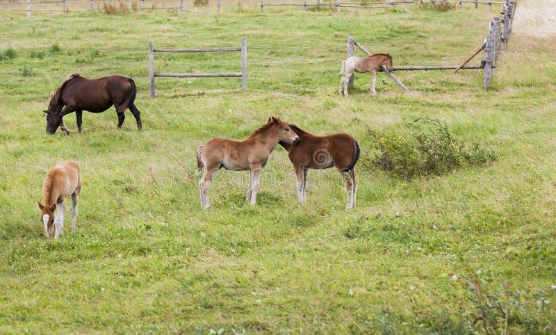 gruppo di piccoli puledri che giocano insieme e di cavallo adulto fotografia stock