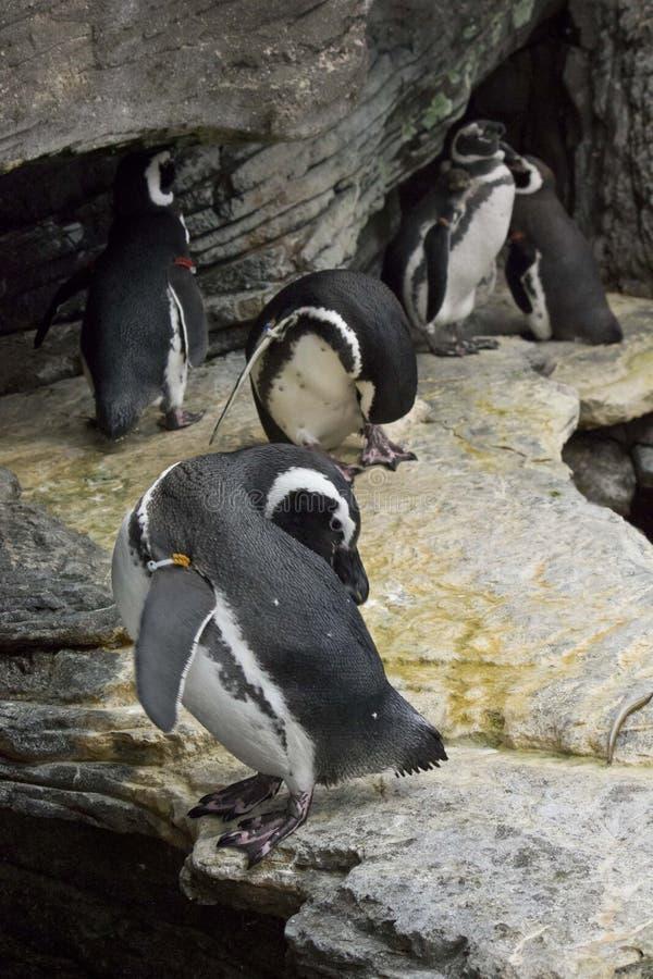 Gruppo di pinguini magellanic fotografia stock libera da diritti