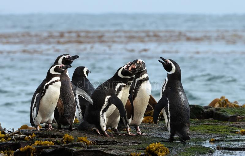 Gruppo di pinguini di Magellanic che stanno su una riva fotografie stock