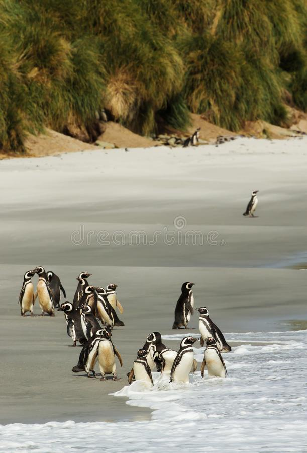Gruppo di pinguini di Magellanic su una spiaggia sabbiosa immagine stock