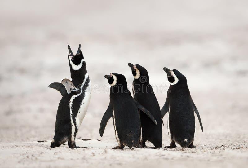 Gruppo di pinguini di Magellanic su una spiaggia sabbiosa immagini stock libere da diritti