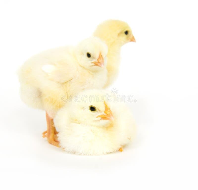Gruppo di pulcini del bambino fotografia stock