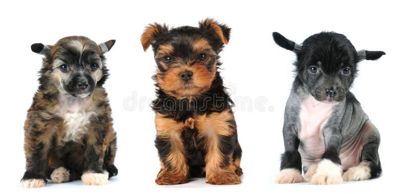 Gruppo di razza dei cani di giro dei cuccioli fotografie stock