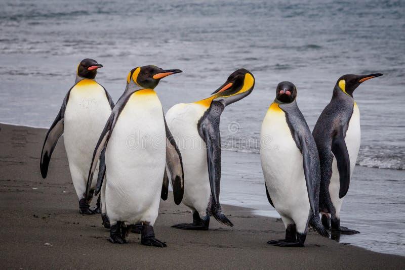 Gruppo di re Penguins sul bordo dell'acqua in st Andrews Bay, Georgia del Sud fotografia stock