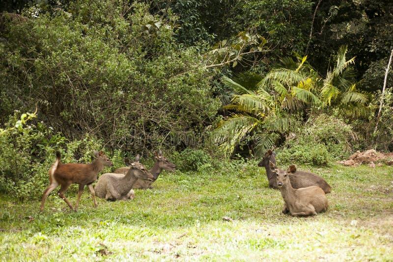 Gruppo di riposo di cervi del Sambar immagini stock