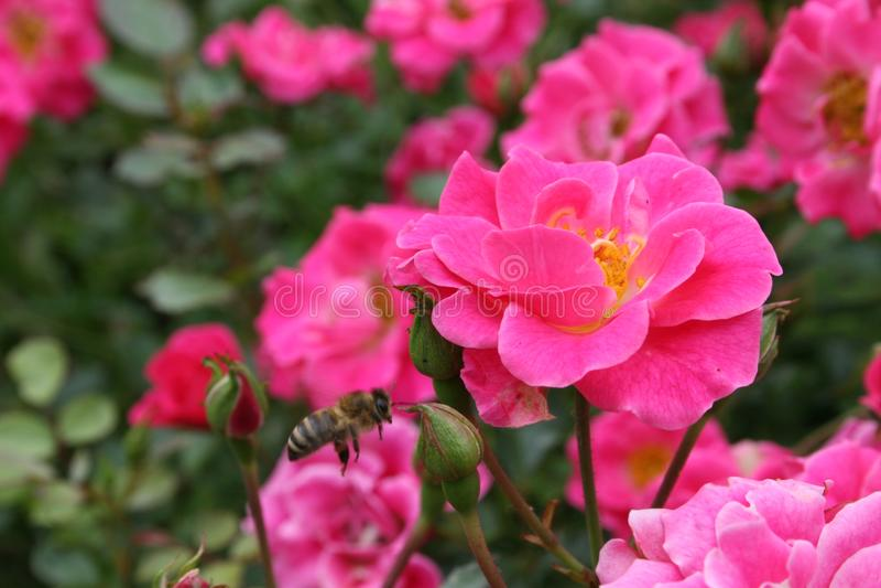 Gruppo di rose rosa con un'ape mellifica di volo fotografia stock