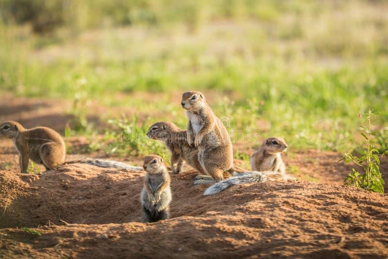 Gruppo di scoiattoli a terra nella sabbia immagini stock