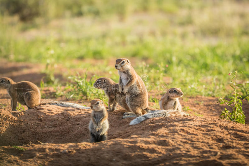 Gruppo di scoiattoli a terra nella sabbia fotografia stock libera da diritti