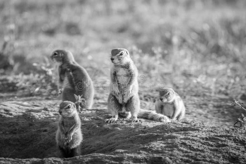 Gruppo di scoiattoli a terra nella sabbia immagine stock libera da diritti