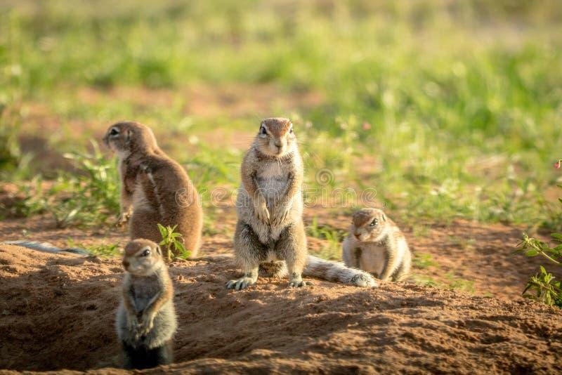 Gruppo di scoiattoli a terra nella sabbia immagini stock libere da diritti