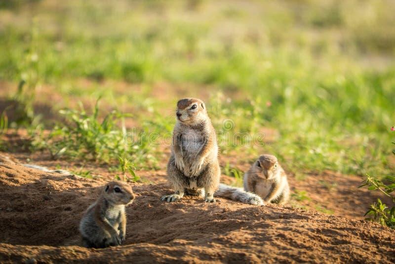 Gruppo di scoiattoli a terra nella sabbia fotografia stock