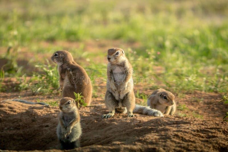 Gruppo di scoiattoli a terra nella sabbia immagine stock