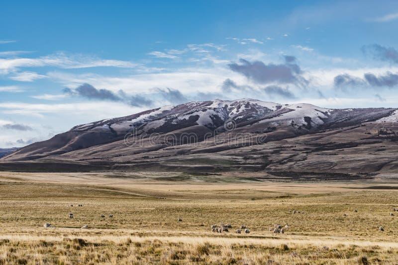 Gruppo di stupore di pecore in azienda agricola con erba gialla dorata con fondo delle montagne della natura con neve sul picco c immagine stock