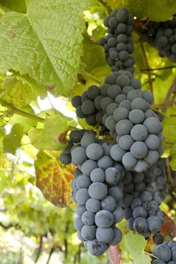 Gruppo di terminali maturo dell'uva fotografia stock libera da diritti