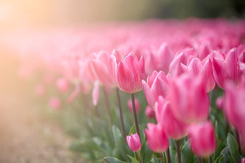 Gruppo di tulipani rosa variopinti accesi da luce solare di mattina nel Giappone immagini stock