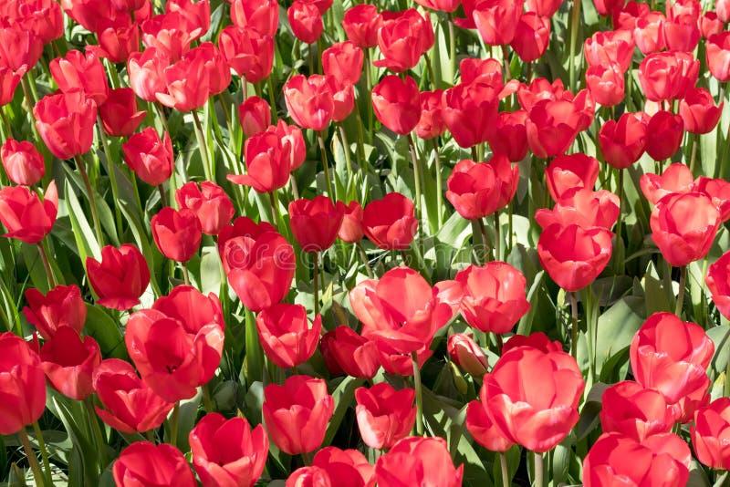 Gruppo di tulipani rossi nel parco Paesaggio della sorgente fotografia stock libera da diritti
